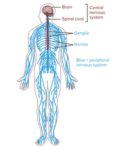 Diagram of central and peripheral nervous system